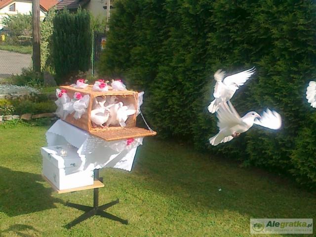 Białe gołebie na waszym ślubie - Trójmiasto i okolice